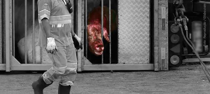 SP: carreta lotada de porcos tomba no Rodoanel e agonia dos animais é transmitida ao vivo