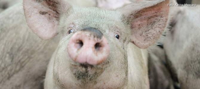 Leia o depoimento emocionado de uma ativista sobre os porcos que não puderam ser resgatados