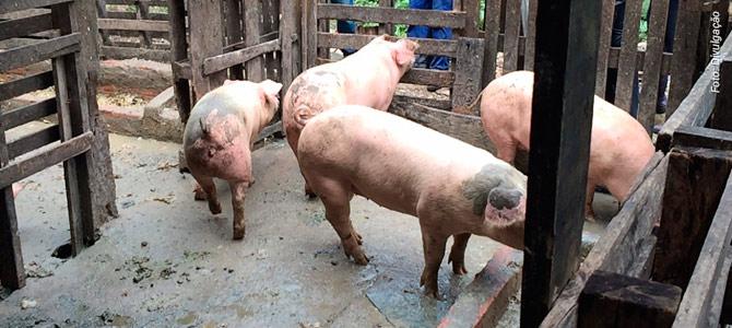 Polícia estoura matadouro clandestino de porcos em Diadema e conta com apoio de ativistas